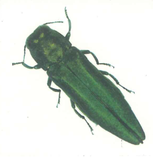 Emerald Ash Borer Tattoos, Box of 100